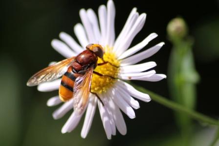 abeille-a.jpg