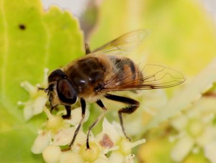 abeille-d.jpg