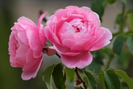 deux-roses.jpg