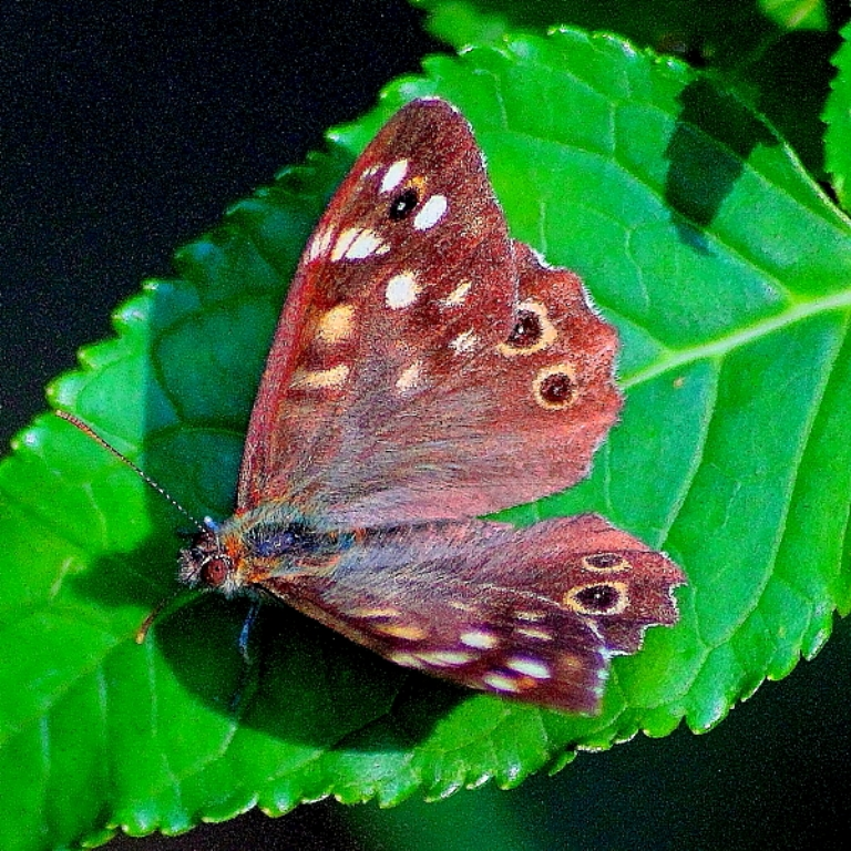 Papillon feuille1