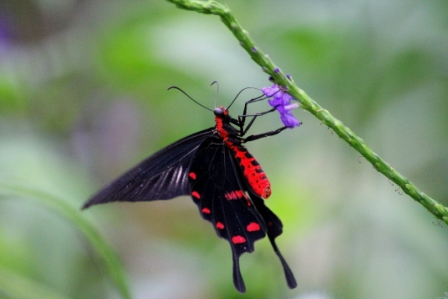 parides-photinus-costa-rica-x.jpg