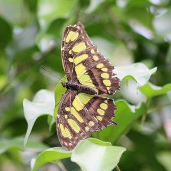 philaethria-dido-costa-rica-x.jpg