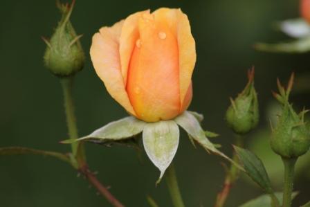 rose-en-bouton.jpg